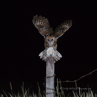 Tawny Owl and supper