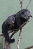Binturong - Zoo Heidelberg (HendrikSchulz) Tags: 2017 arctictisbinturong binturong canon canoneos7dmarkii deutschland germany hd heidelberg hendrikschulz hendriktschulz june juni marderbär palmenroller schleichkatze tierfotografie tierpark zoohd zoophotography zoofotografie animalpark animalphotography
