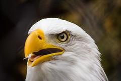 (marina~) Tags: mountsberg raptorcentre raptor canon halton conservation ontario milton eagle baldeagle
