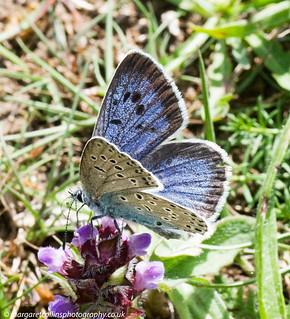 Large Blue Nectaring 1 2017