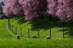Wool Lined (Prestidigitizer) Tags: flowers victoria metchosin parrybaysheepfarm cherry tree blossom pink farm pasture idylic pentaxk3 pentaxda50135mm britishcolumbia vancouverisland
