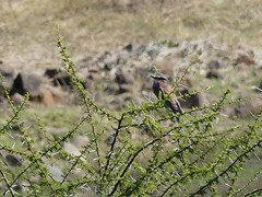 P1150130 Zimbabwe (69) (archaeologist_d) Tags: zimbabwe stanleylivingstonesafarilodge lilacbreastedroller birdwatching africa southernafrica safari