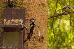 Schotland 2017-126 (Switch62) Tags: scotland 2017 aberfoyle dukes pass visitor centre pied grote bonte specht boomklever nuthatch woodpecker