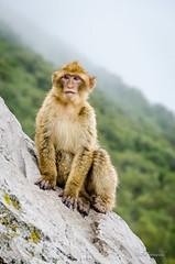 Standing on Guard (Neil Cornwall) Tags: 2016 barbarymacaque celebritycruises europe gibraltar mediteraneancruise october silhoetteship unitedkingdom monkey