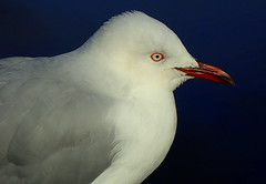 SILVER GULL up close (Lani Elliott) Tags: nature naturephotography lanielliott bird birds gull seagull silvergull coastalbird white bright light beak feather feathers upclose closeup close bokeh eye eyering wow