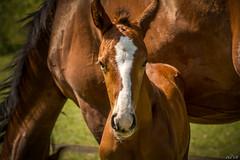 Poulain (Phil Vb) Tags: poulain animal cheval paard horse foal philvb nikon