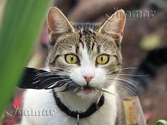 Kiwa y su tesoro - Kiwa et son trésor (Marina-Inamar) Tags: gato gatos felinos felino hembra pluma