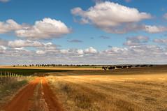 Summer Contrast (Bai R.) Tags: sun nature golden cultivatedfield harvest