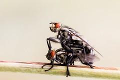 Fliegen bei der Arbeit :-) (Photo.Nartschik) Tags: natur nature wildlife makrofotografie macrophotography macro makro insects insect insekt fly fliegen fliege