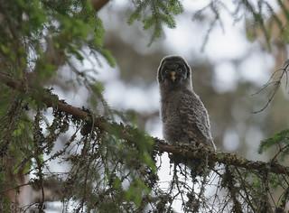 Chouette lapone Great Grey Owl 2453_DxO.jpg