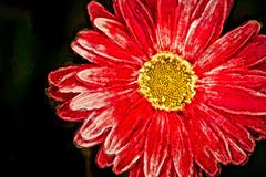 Artistic Gerbera-Light Pink 6-0 F LR 5-16-17 J044 (sunspotimages) Tags: gerberas gerbera flower flowers red redflowers redflower redgerberas redgerbera nature impressionism impressionist artwork artistic