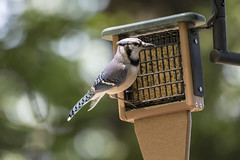 Blue Jay (will139) Tags: bluejay bird feeder cyanocittacristata coridae eaglecreekpark indianapolisindiana canon avian