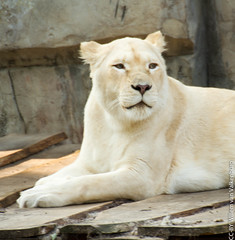 IMG_0638.jpg (wfvanvalkenburg) Tags: ouwehandsdierenpark familie lion