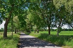 Landstraße bei Varel-Altjührden / Landkreis Friesland (berndwhv) Tags: bäume trees weg landweg strase street landstrase countryroad road country landschaft landscape landschap paysage weiden wiesen deutschland norddeutschland niedersachsen landkreisfriesland altjührden varelaltjührden