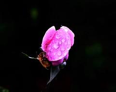 ROSA (ameliapardo) Tags: rosa gotas lluvia agua flores macro jardines naturaleza andalucia sevilla españafujixt1