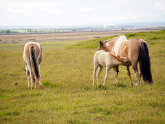 Feeding time (Quetzalcoatl86) Tags: horses chevaux islande iceland olympus mirrorless poulain foal