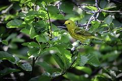 Yellow Warbler (halladaybill) Tags: mammothlakes mammothtrip twinlakes yellowwarbler california monocounty seaandsageaudubonsociety nikond500 nikkor200500zoom bird yellow