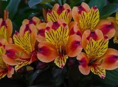 Alstroemeria flowers in the Sofiero castle garden (frankmh) Tags: plant flower sofiero sofierocastlegarden helsingborg skåne sweden outdoor