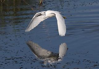 Little Egret Low Level Flypast