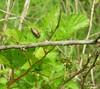 DSCN1597 (Henryr10) Tags: beetle edgeofappalachia lynxprairietrail edgeofappalachialynxprairietrail lynxprairiepreserve adamscountyohio metallicwoodboringbeetle