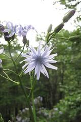 Lactuca plumieri (gabrielterraz) Tags: gourette pyrénéesatlantiques france asteraceae lactuca