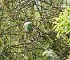 Este bonito pájaro es un loro del Quaker, también conocido como cotorra monje o cotorra argentina. Su nombre científico es Myiopditta monachus. A mi me encantan aunque se va diciendo que son una plaga y creo que por algunos sitios las matan a miles. (EMferrer) Tags: cotorra loroquaker ave cotorraargentina enriquemalaga cotorramonje pajaro