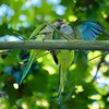 Una #cotorra argentina (#Myiopsitta monachus) alimentando a su #polluelo #aves #birds #pajaros #monkparakeet #parakeet #psittaciformes #psittacidae #cotorraargentina #bcn #barcelona #cotorramonje #chick (Carolina_BCN) Tags: cotorra polluelo aves birds pajaros monkparakeet parakeet psittaciformes psittacidae cotorraargentina bcn barcelona cotorramonje chick
