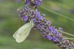 20170708-_DSC9577.jpg (Robert 45) Tags: bokeh fleur blanc lavande coloré papillon olivet centrevaldeloire france fr piéride