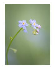 Don't forget me.... :-) (crispin52) Tags: vergeetmenietje bloem flower forgetmenot nature purple blue green macro nikon