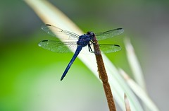 Male Dragonfly resting. (ineedathis, Everyday I get up, it's a great day!) Tags: dragonfly insect slatyskimmer libellulaincesta darkblue odonata ληβελλουλη reed cattail typha bulrush reedmace nature pond summer nikond750 bokeh
