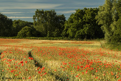 Cookley poppies 5 (Philip Lench) Tags: poppies kidderminster worcestershire