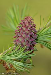Larch Flower (markg776) Tags: flower larch tree woodland macro