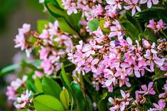 Spring flowers (randyherring) Tags: ca california spring elkgrove nature flowers afternoon springflowers outdoor bloom neighborhood flora suburban unitedstates us