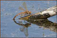 Brown Hawker (image 1 of 2) (Full Moon Images) Tags: kings dyke wildlife nature reserve insect macro female brown hawker dragonfly ovipositing