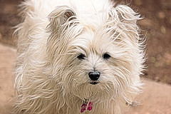 """before the """"cut"""" HSS (Dotsy McCurly) Tags: ruffy cute dog cairnterrier girl long hair flowing photoshop topaz nikond750 600mm newjersey hss happysliderssunday 7dwf"""
