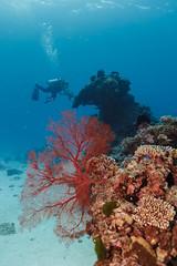 Coral Fan || LEI (David Marriott - Sydney) Tags: queensland australia au qld fotofrenzy collective canon lady elliot island great barrier reef far fan coral scuba diving underwater ikelite