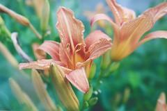(ConcreteLies) Tags: flower flowers plants nature orange green