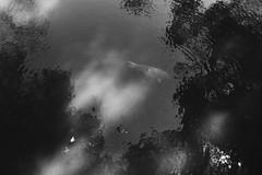 鯉 (Camila Iquiene) Tags: blackandwhite 白黒写真 白黒 pretoebranco water pond fish carp 鯉