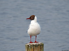 Black-headed Gull (Corine Bliek) Tags: larusridibundus bird birds vogel vogels wildlife nature natuur meeuwen gulls water