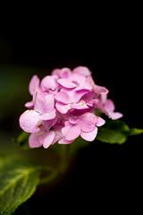 Pretty Pink Against Black (happad fotografie) Tags: flower bloem roze pink backyard 105mm nikkor nikon d610 green groen