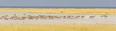 The Sunlit Plains Extended (gecko47) Tags: landscape panorama grassland plain springbok herd namibia etoshanationalpark veld horizon