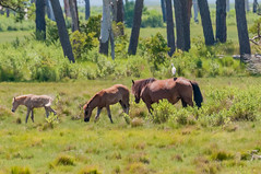 07082017-540-1 (bjf41) Tags: chincoteague horses wild herd colts