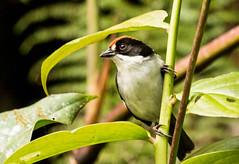 IMG_7853  White-winged Brush-finch (ashahmtl) Tags: whitewingedbrushfinch bird finch songbird atlapetesleucopterus bellavistalodge nanegalita pichinchaprovince ecuador
