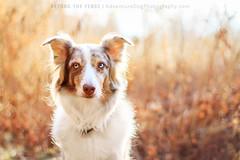 Winter Light (adventuredogphoto) Tags: aussie asutralianshepherd redmerle winter backlight golden dog sunset nature outdoors light dogphotographer massachusetts dogportrait adventuredogphotography beyondthefence blueamrich