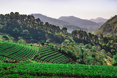 on the mountain (Flutechill) Tags: nature beautyinnature natural landscape exploration travel thailand tourist trees forest farm field mountain mountains layer skyline chiangmai valley agriculture landmark