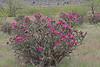 CAD0015794a (jerryoldenettel) Tags: 170602 2017 cactaceae caryophyllales coreeudicots cylindroptunia cylindroptuniaimbricata n quayco treecholla tucumcari wildflower cactus cholla flower