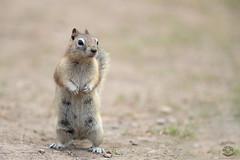 Uh Oh! (Megan Lorenz) Tags: goldenmantledgroundsquirrel groundsquirrel squirrel animal mammal rodent nature wildlife wild wildanimals alert standing standingup yellowstonenationalpark wyoming montana mlorenz meganlorenz