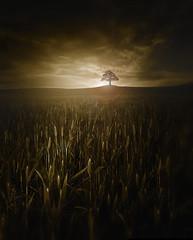 Single (OussamaMazouz) Tags: creativeedit single tree brids wheat