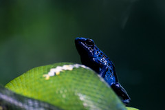 Poison grants immunity to fear (Alden Lim) Tags: snake frog blue poison singapore zoo green dart dare courage bokeh