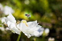 . (photalena) Tags: flower macro 7dwf white poppy bee fauna iga